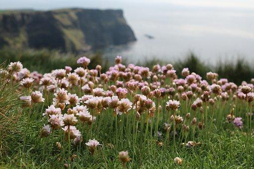 Klee, Meadow, Cliffs, Ireland, Nature, Grass, Blossom