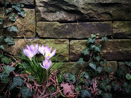 Purple Crocus, Stone Wall, Wall, Stone, Ivy