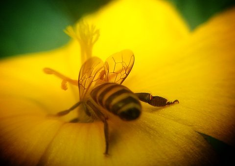 Honeybee, Mobile, Lens, Flower