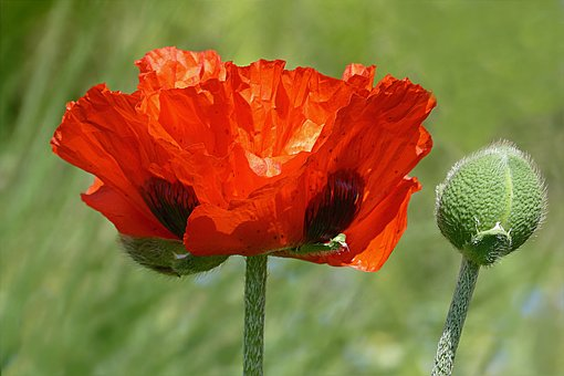 Flower, Poppy, Poppy Flower, Papaver Rhoeas, Red