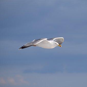 Seagull, Sea, Water, Nature, Coast, Sweden, Port