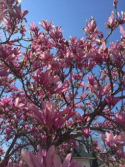 Magnolia, Flowering Tree, Spring