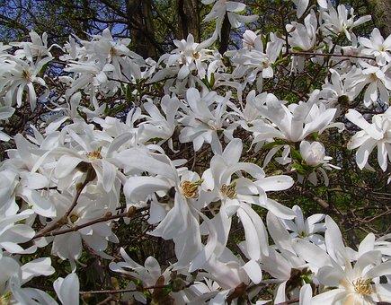 Star Magnolie, Magnolia Stellata, Ornamental Shrub
