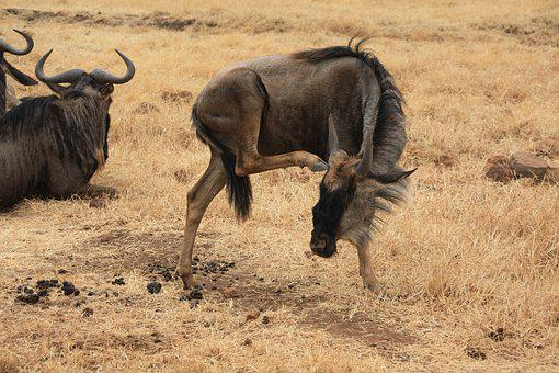 Gnu, Africa, Safari, National Park, Wild Animals