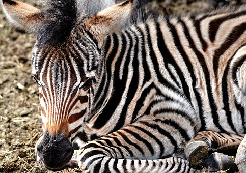 Zebra, Zebra Young, Calf