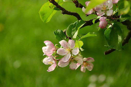 Apple-blossom, A Blossoming Fruit Tree