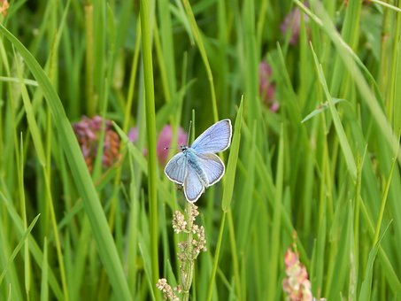 Red Clover-blue, Common Blue, Meadow, Summer, Grass