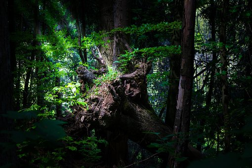 Forest, Log, Nature, Trees, Sunlight, Forests, Old Tree