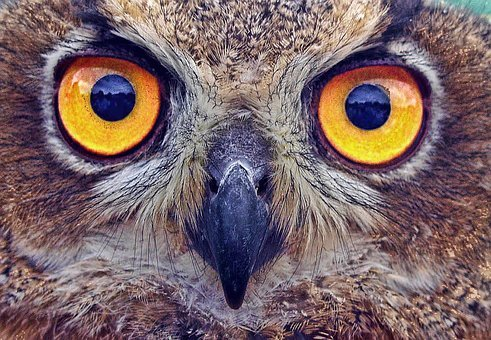 Owl, Eyes, Stare, Bird, Feather, Beak, Carnivore