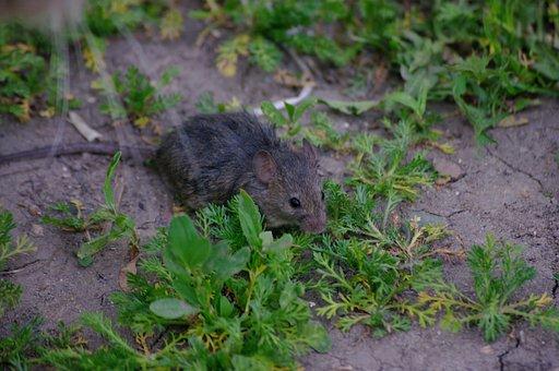 Mouse, Rat, Grey, Rodent, Pest