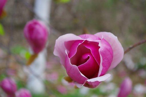 Spring, Wide Magnolia, Pink