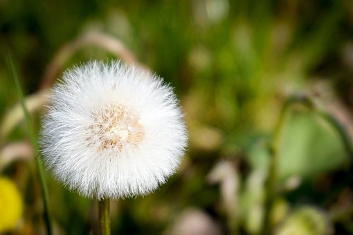 Dandelion, Faded, Pointed Flower, Meadow, Nature, Seeds