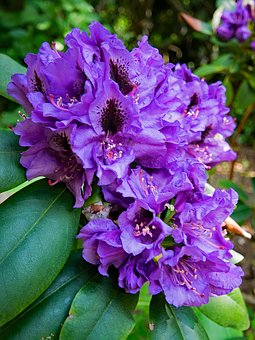 Rhododendron, Flowers, Purple, Blossom, Bloom, Nature