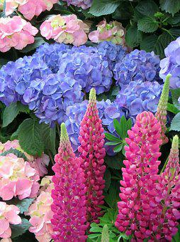 Lupine, Hydrangea, Flower, Red, Blue, Pink, Bouquet