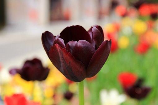 Tulip, Flower, Sprint, Application, Backdrop, Brown