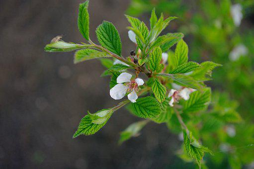 Apple Tree, Flowers, White, Apple Flower, The Buds