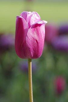 Tulip, Single, The Stem, Pink, Violet, Lilowy