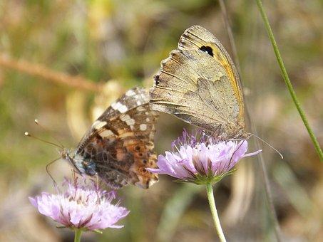 Butterflies, Libar, Two Butterflies, Vanessa Cardui