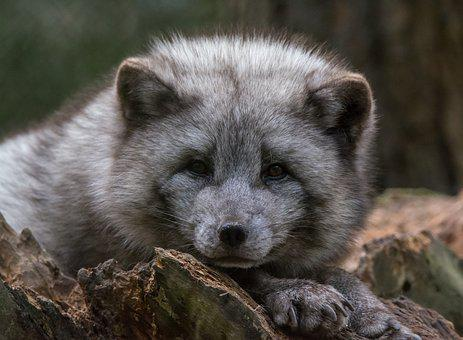 Arctic Fox, Watch, Zoo, Chill Out, Rest, Relax