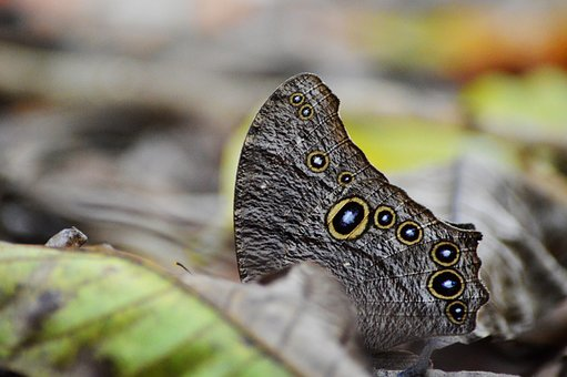 Owl Butterfly, 10 Eyes, Nature, Butterfly