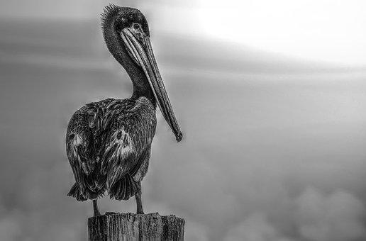 Florida, Pelican, Black And White, Bird, Animal