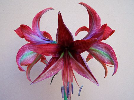 Amaryllis, Burgundy-colored Flowers, Potted Plant