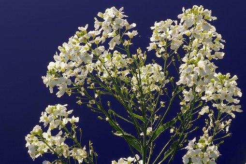 Flower, White, Cream, Blue, The Background, Water