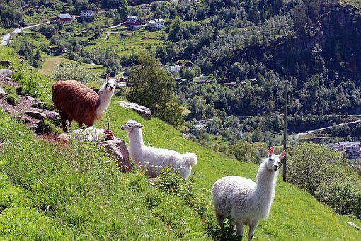 Lama, Lamas, Green, View, Watch, Spit, Animal, Exotic