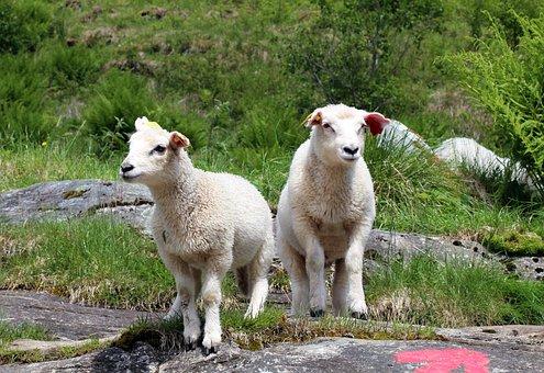 Sheep, Lamb, Lambs, Gang, Meadow, Animals, Wool, Spring