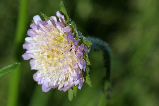 Flower, Rosa, Violet, Clover, Meadow, Nature, Minor