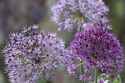 Ornamental Onion, Violet, Flower, Plant, Nature