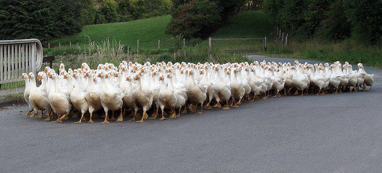 Animals, Geese, Single File, Poultry, Free Range