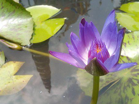 Lotus, Purple Lotus, Refreshing, Lotus Leaf, Water
