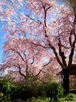 Cherry, Spring, Cherry Blossom Viewing