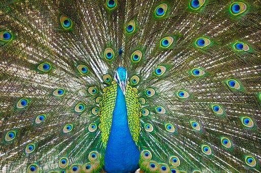 Beautiful Male Peacock, Colorful, Bird, Feather, Zoo