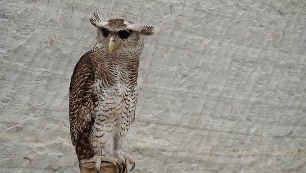 Owl, Owls, Bird, Animal, Nature, Wildlife, Feather