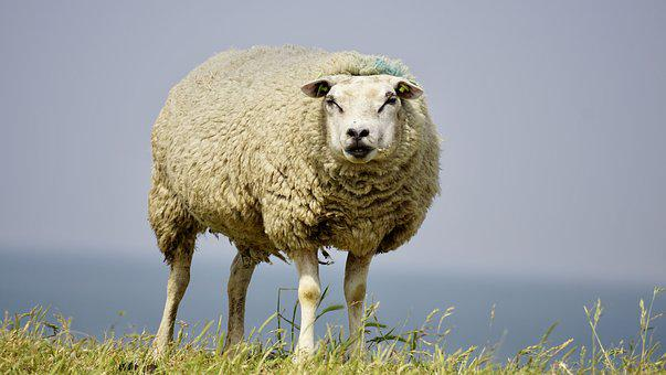 Sheep, Wool, Concerns, Grass, Chill Out, Rest, Dike