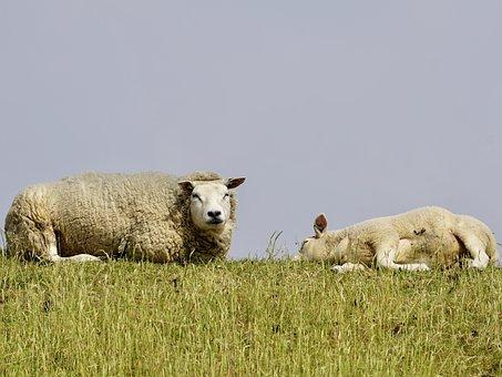 Sheep, Lamb, Mother-child, Schäfchen, Wool, Concerns