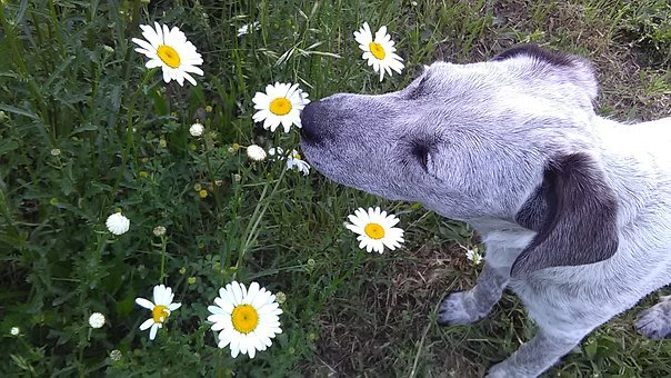 Daisy, Dog, Smelling, Spring, Pet, Meadow, Cute