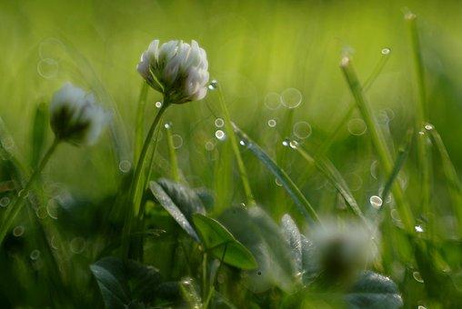 Grass, Flower, Clover, Rosa, Glow, Drops, Light, Blur