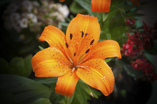 Lily, Flower, Orange, Garden, Spring, Drops, Water