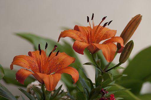 Lily, Flower, Orange, Garden, Nature, Drops, Water