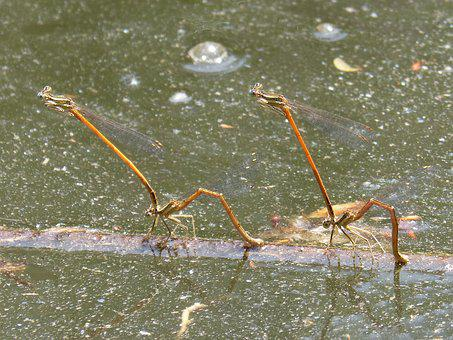 Dragonflies, Damselfly, Insects Mating, Reproduction