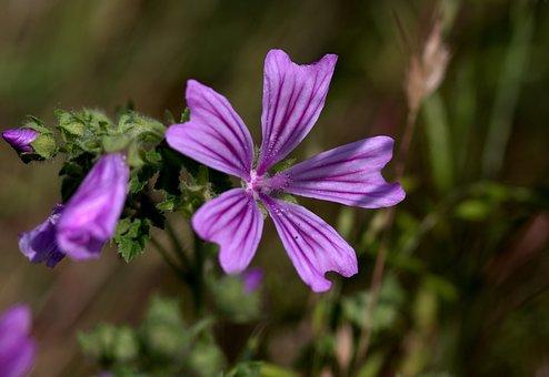 Mallow, Flower, Mov, Wild, Plant