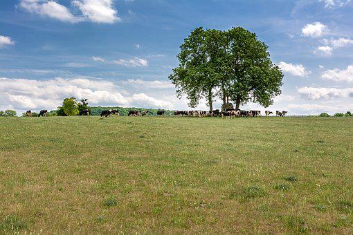 Tree, Meadow, Cow, Pasture, Summer, Clouds, Nature