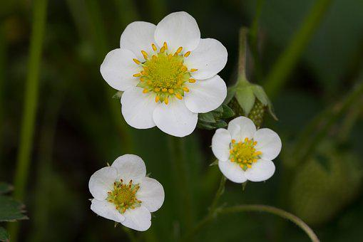 Strawberry, Plant, Nature, Strawberry Flower, Access