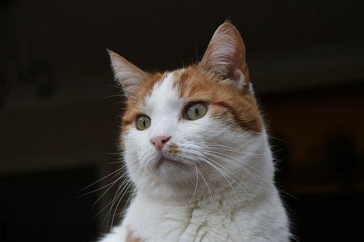Cat, Ginger, White, Green Eyes, Male