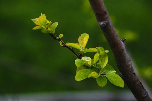 A New Leaf, Flower Apples, Bud, The Leaves, Spring