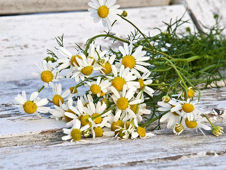 Chamomile, Genuine Chamomile, Grassland Plants, Nature