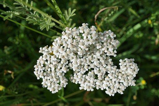 Yarrow, Flower, White, Green, Nature, Heal